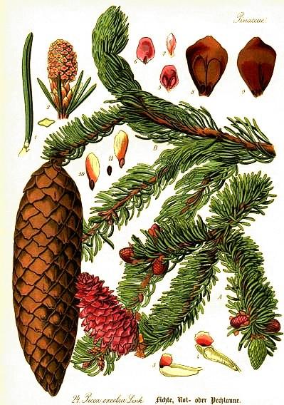 abete rosso Picea abies tavola