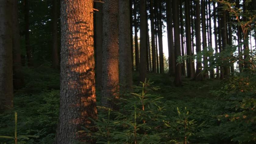 bosco-di-abeti-pinacea-corteccia