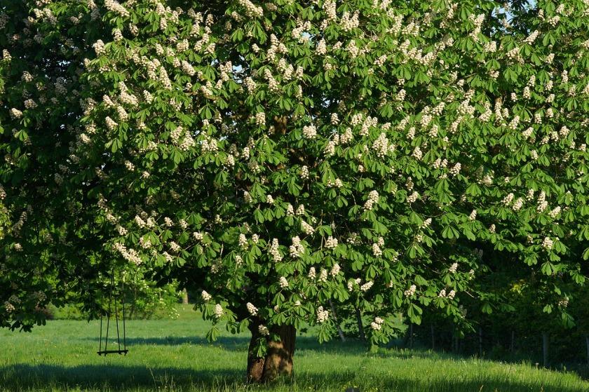 chestnut-tree-3391514_1280