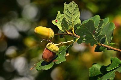 acorn-3694485_1280.jpg
