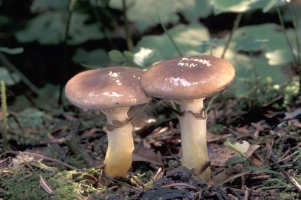 gomphidius-glutinosus11.jpg