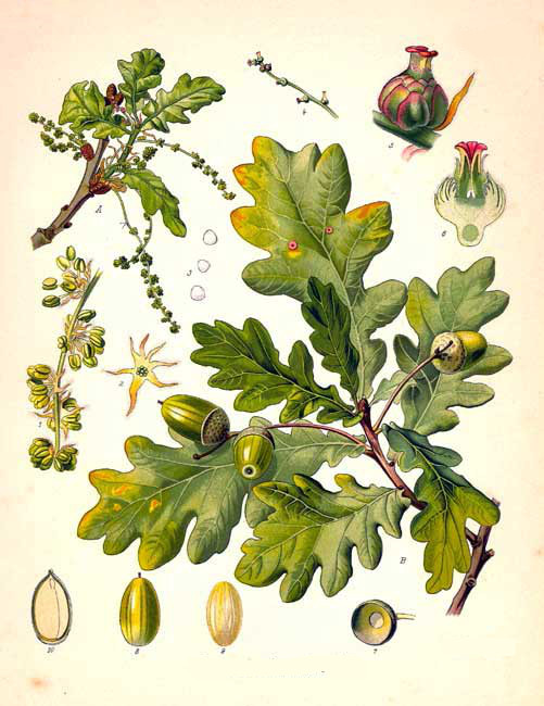 Quercus_roburTavola