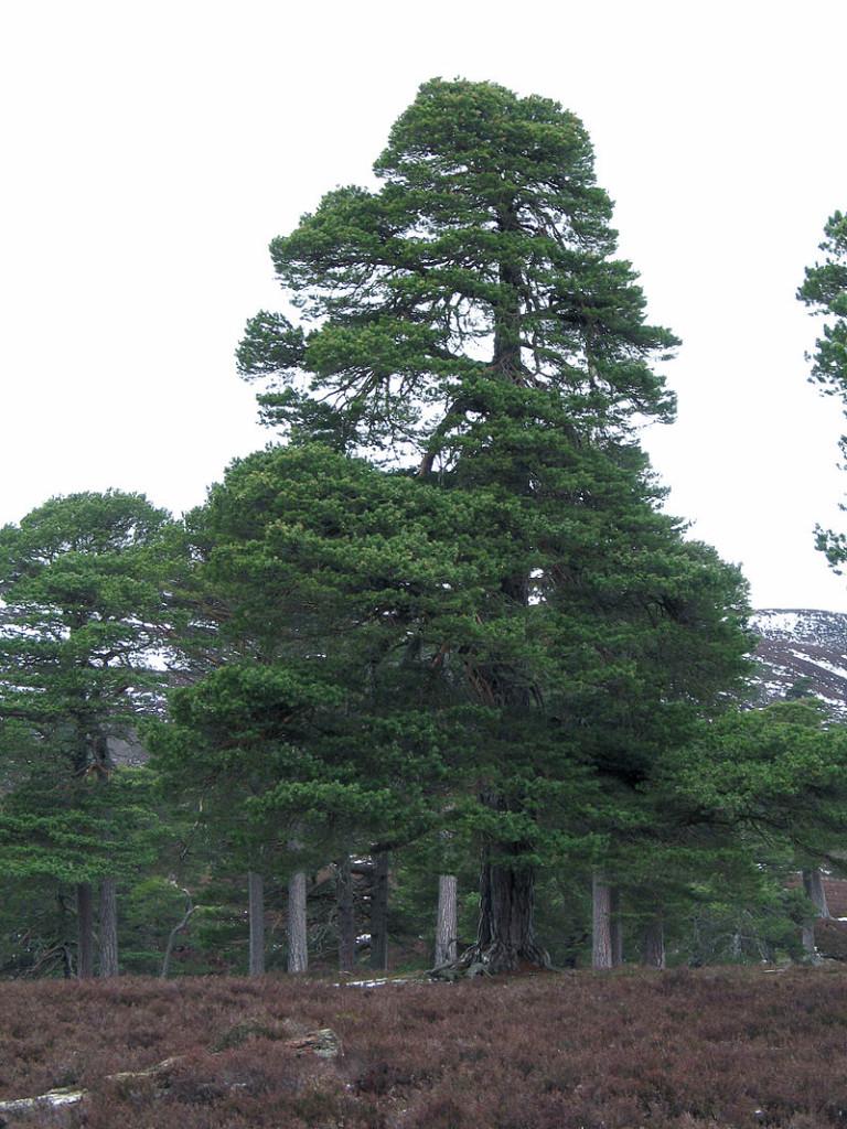 Il-pino-silvestre-Pinus-sylvestris-768x1024.jpg