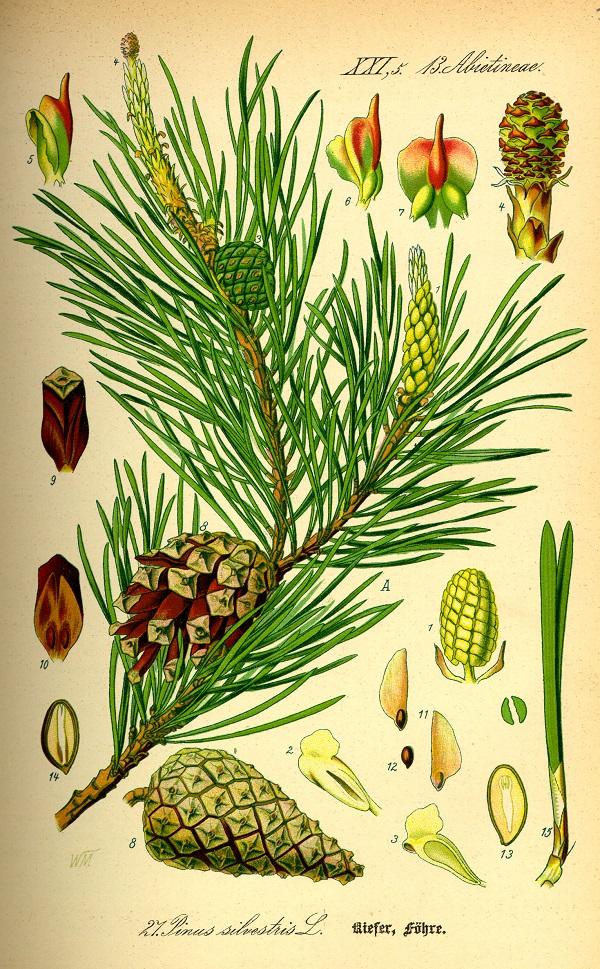 pinosilvestre1.jpg