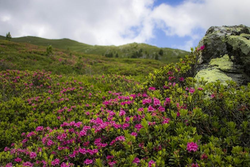 alpine-rose-3143376_1920.jpg