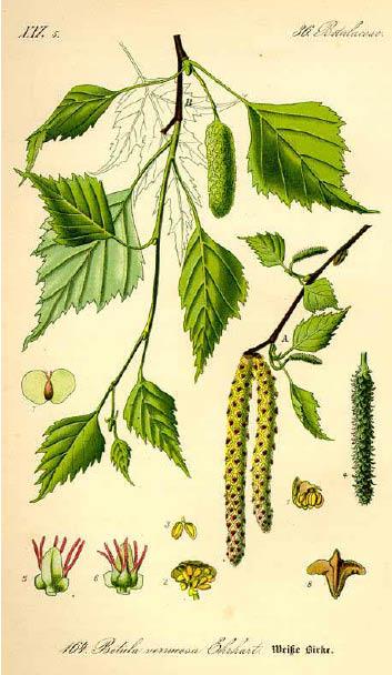 Betula Pendula_scheda