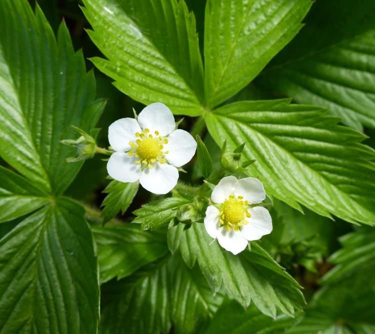 fragaria-vesca-subsp-vesca40863.jpg