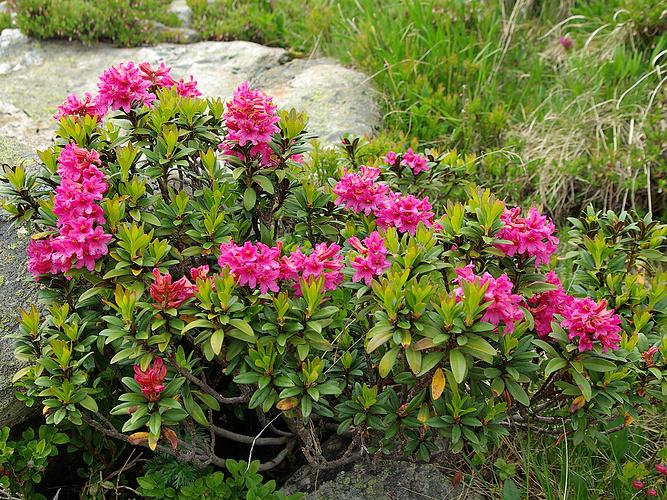 rododendro2