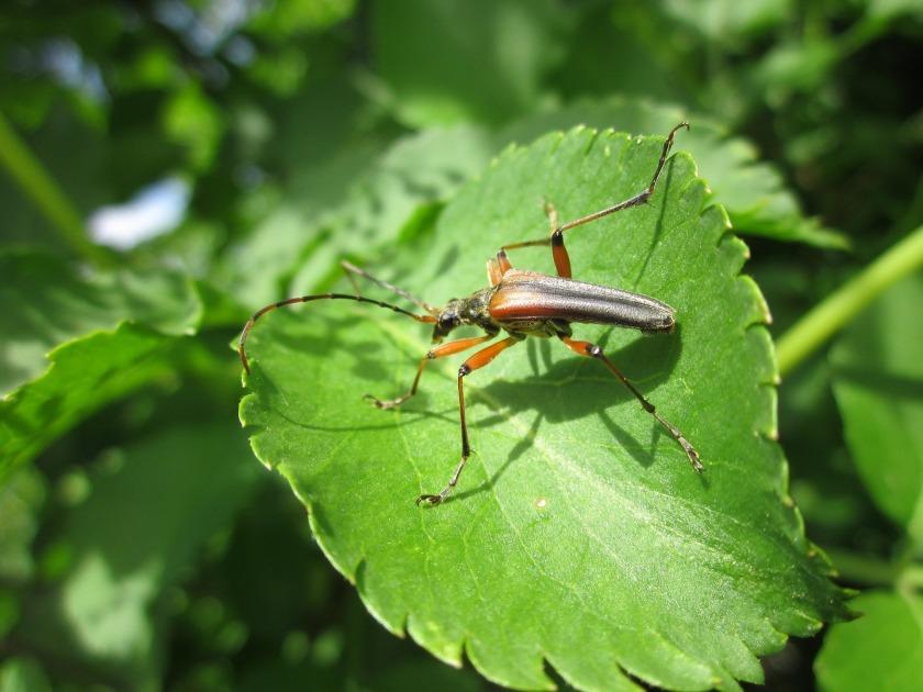 sambucus-nigra-846619_1920.jpg
