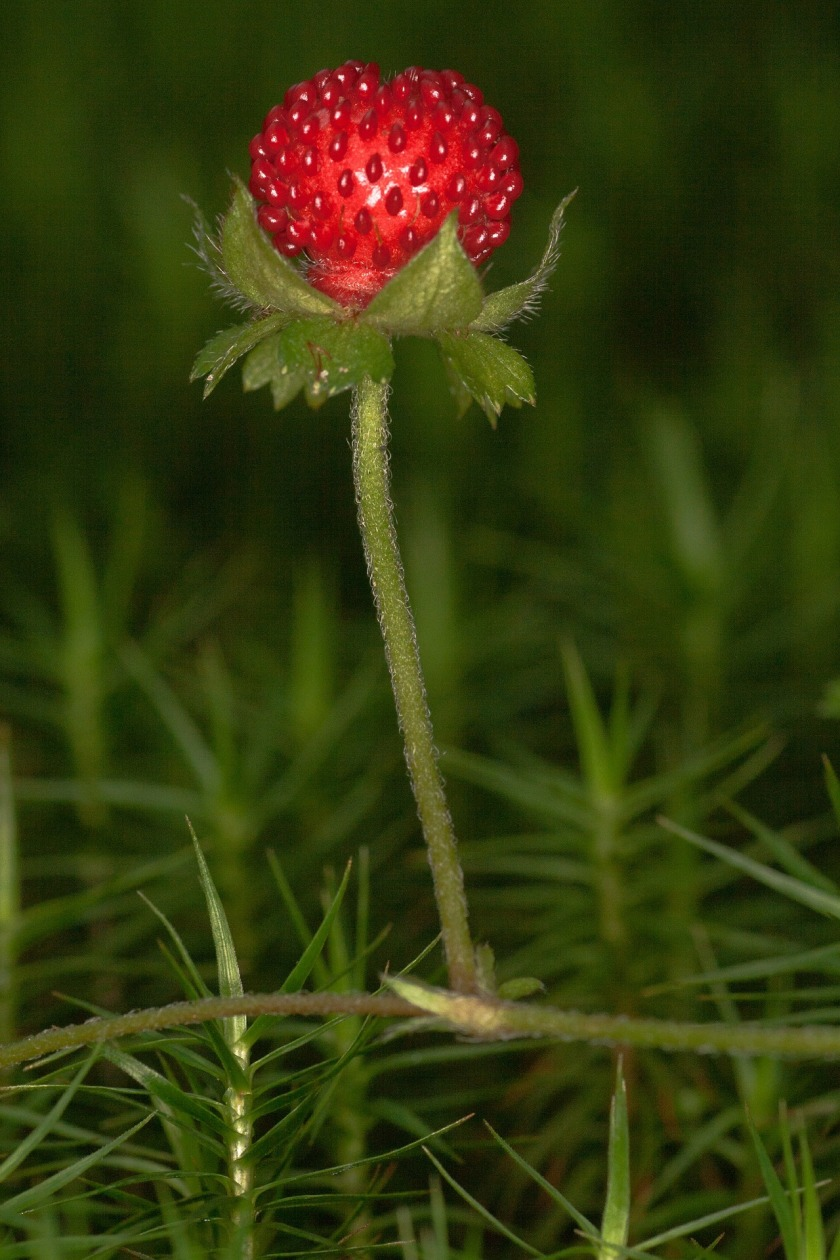 wild-strawberry-591010_1920