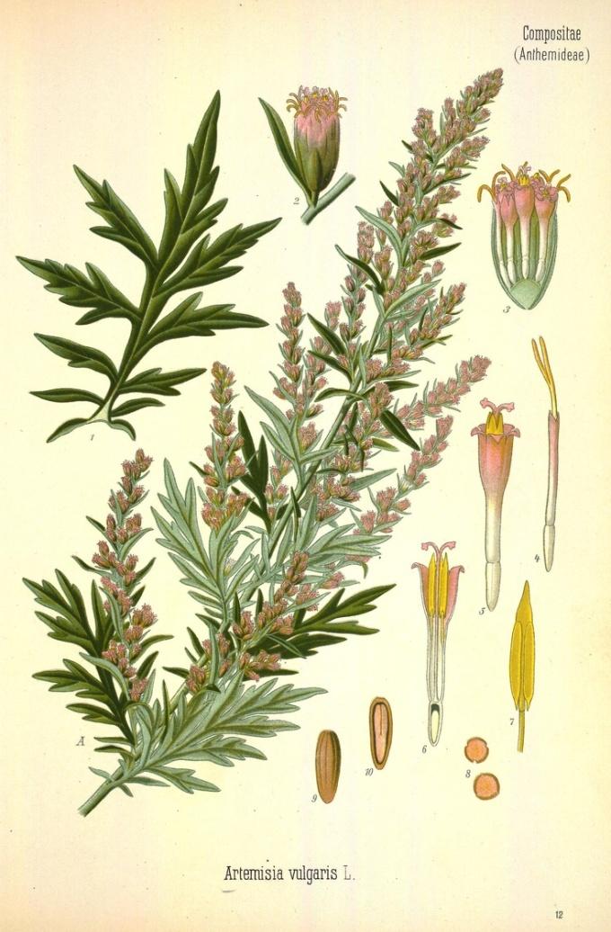 artemisia-vulgaris-botanical-print.jpg