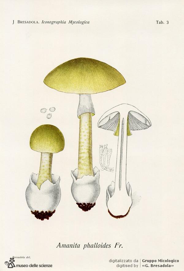 tavolaPhalloides