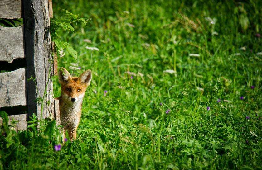 fox-4645065_1920