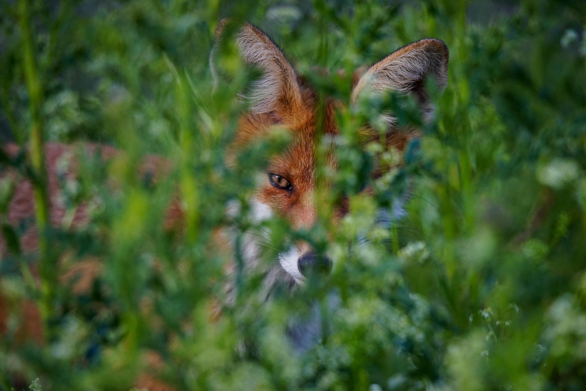 fox-4645073_1920